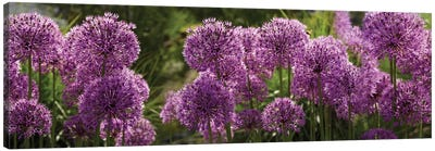 Close-Up Of Purple Puffball Allium Flowers Canvas Art Print