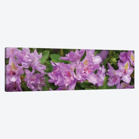 Close-Up Of Purple Rhododendron Flowers Canvas Print #PIM14496} by Panoramic Images Art Print