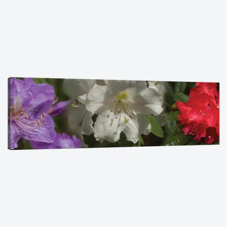 Close-Up Of Rain On Assorted Rhododendron Flowers Canvas Print #PIM14497} by Panoramic Images Canvas Art Print