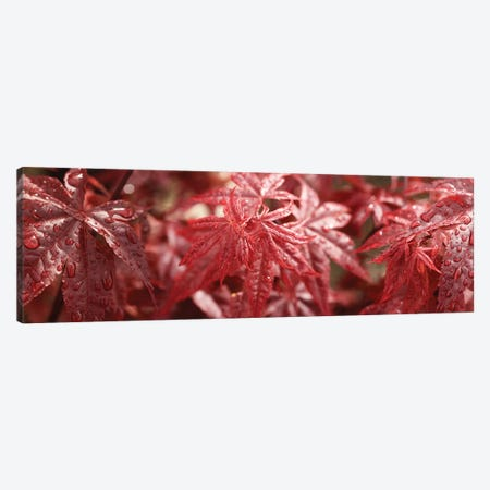 Close-Up Of Raindrops On Red Coleus Leaves Canvas Print #PIM14502} by Panoramic Images Canvas Artwork