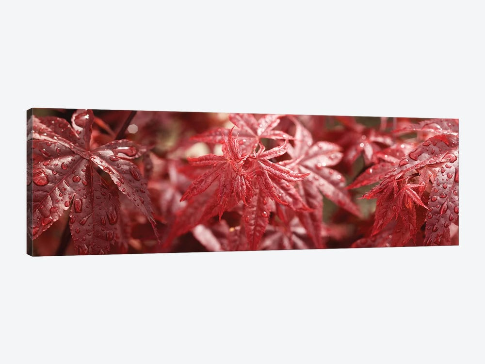Close-Up Of Raindrops On Red Coleus Leaves by Panoramic Images 1-piece Canvas Art