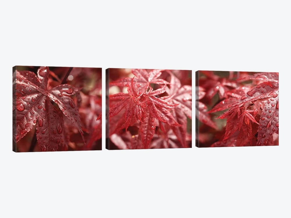 Close-Up Of Raindrops On Red Coleus Leaves by Panoramic Images 3-piece Canvas Artwork