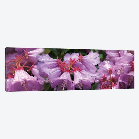 Close-Up Of Raindrops On Rhododendron Flowers I Canvas Print #PIM14503} by Panoramic Images Canvas Wall Art