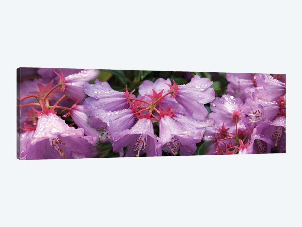 Close-Up Of Raindrops On Rhododendron Flowers I by Panoramic Images 1-piece Art Print