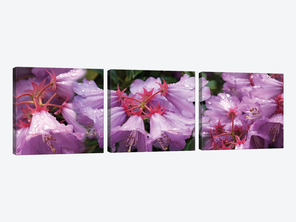 Close-Up Of Raindrops On Rhododendron Flowers I by Panoramic Images 3-piece Canvas Art Print
