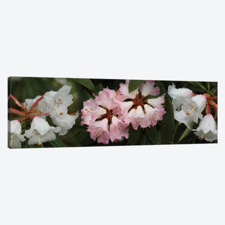 Close-Up Of Raindrops On Rhododendron Flowers II Canvas Print #PIM14504} by Panoramic Images Canvas Art Print