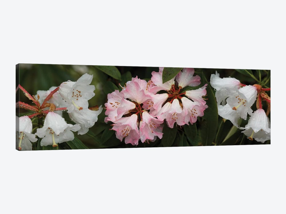 Close-Up Of Raindrops On Rhododendron Flowers II 1-piece Canvas Art