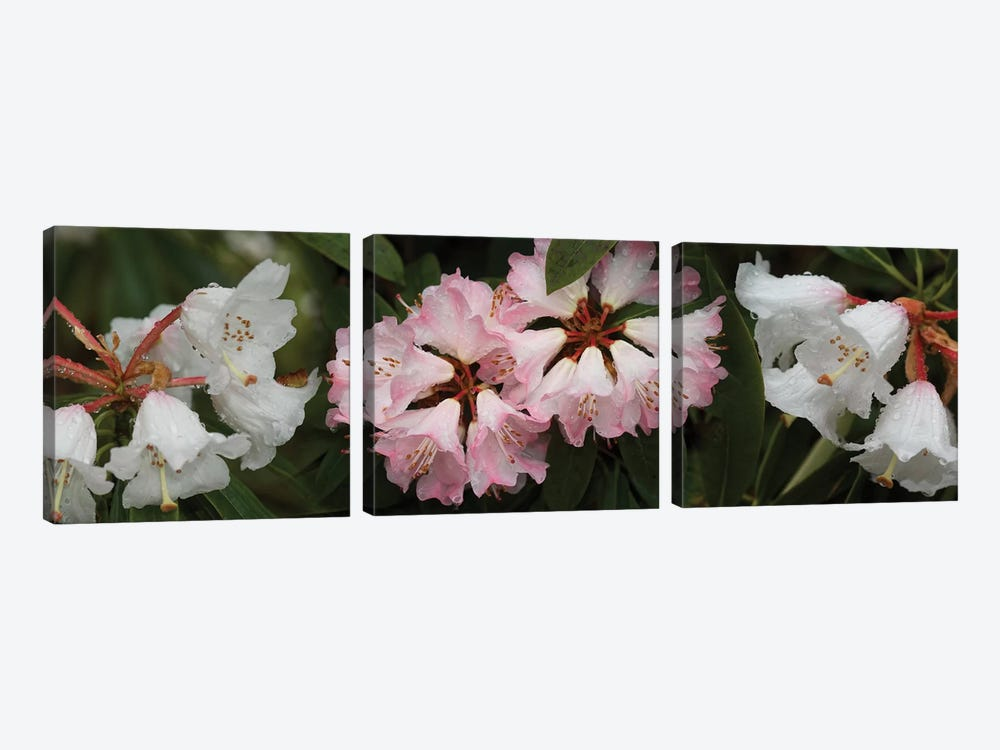 Close-Up Of Raindrops On Rhododendron Flowers II by Panoramic Images 3-piece Canvas Wall Art
