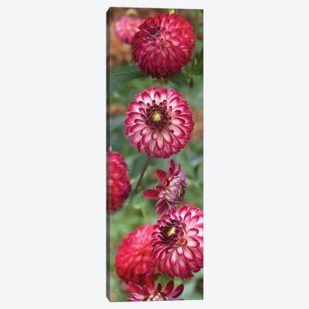 Close-Up Of Red And White Zinnia Flowers Canvas Print #PIM14507} by Panoramic Images Art Print