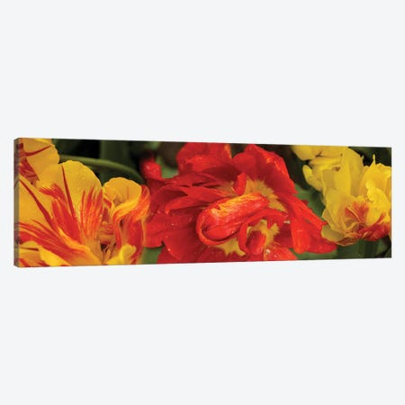 Close-Up Of Red And Yellow Tulip Flowers Canvas Print #PIM14508} by Panoramic Images Canvas Wall Art