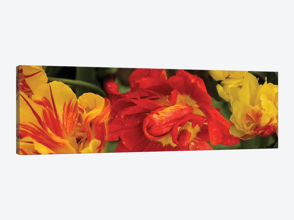 Close-Up Of Red And Yellow Tulip Flowers by Panoramic Images 1-piece Canvas Artwork