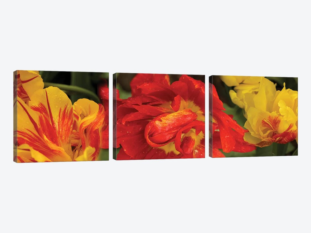 Close-Up Of Red And Yellow Tulip Flowers by Panoramic Images 3-piece Canvas Wall Art