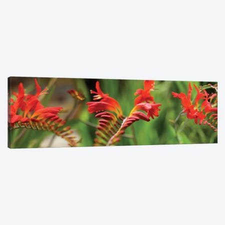 Close-Up Of Red Crocosmia Flowers Canvas Print #PIM14510} by Panoramic Images Art Print