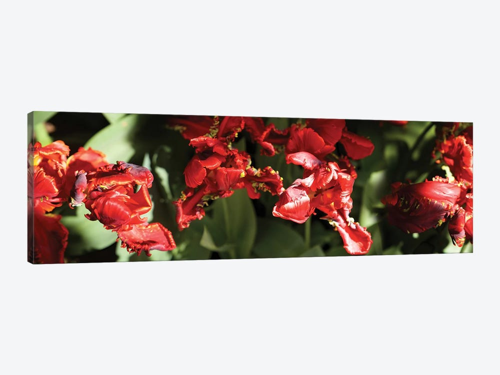 Close-Up Of Red Flowers Blooming On Plant by Panoramic Images 1-piece Canvas Art Print