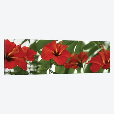 Close-Up Of Red Hibiscus Flowers Canvas Print #PIM14513} by Panoramic Images Canvas Art Print
