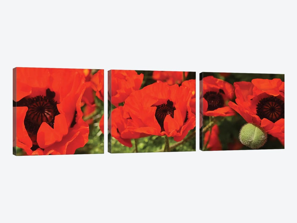 Close-Up Of Red Poppy Flowers by Panoramic Images 3-piece Art Print