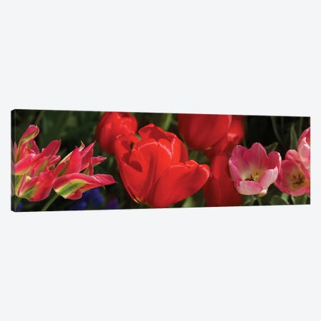 Close-Up Of Red Tulip Flowers IV Canvas Print #PIM14520} by Panoramic Images Canvas Wall Art