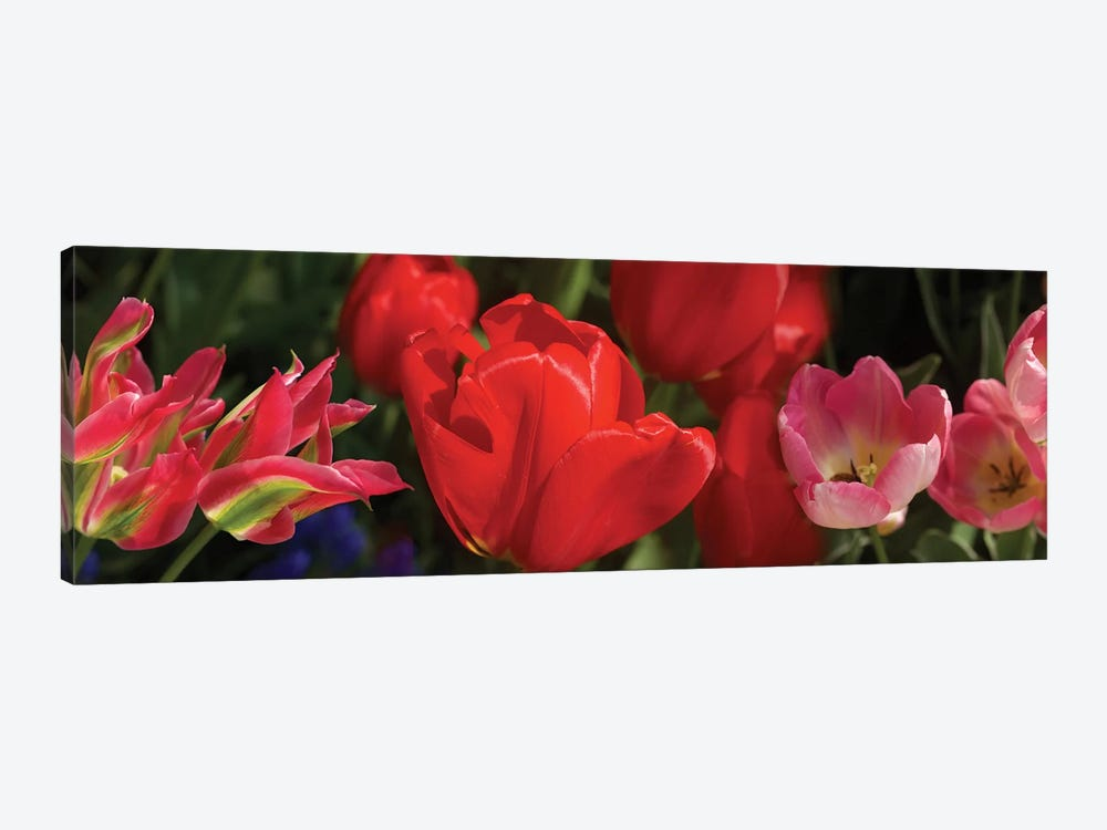 Close-Up Of Red Tulip Flowers IV by Panoramic Images 1-piece Canvas Artwork