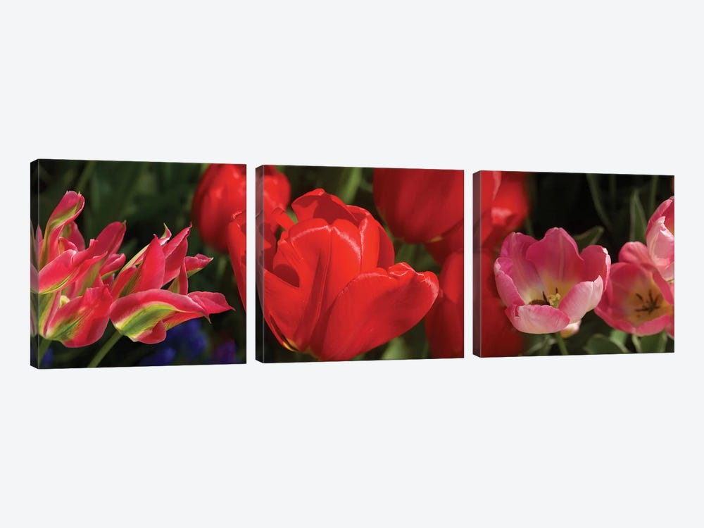 Close-Up Of Red Tulip Flowers IV by Panoramic Images 3-piece Canvas Art