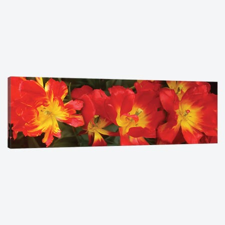 Close-Up Of Red Tulip Flowers VI Canvas Print #PIM14522} by Panoramic Images Canvas Art