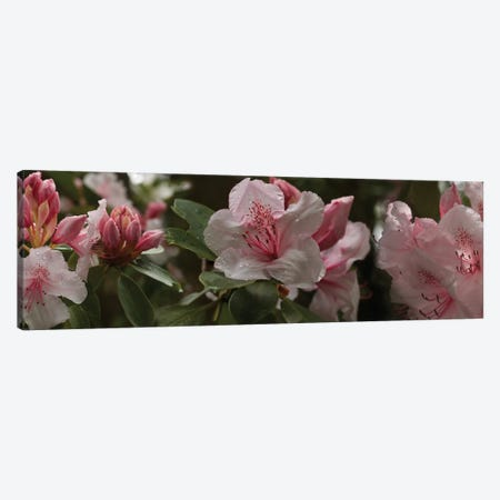 Close-Up Of Rhododendron Flowers I Canvas Print #PIM14525} by Panoramic Images Art Print