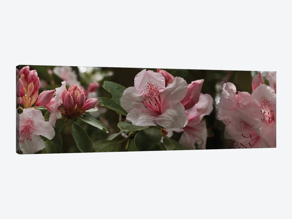 Close-Up Of Rhododendron Flowers I by Panoramic Images 1-piece Canvas Print