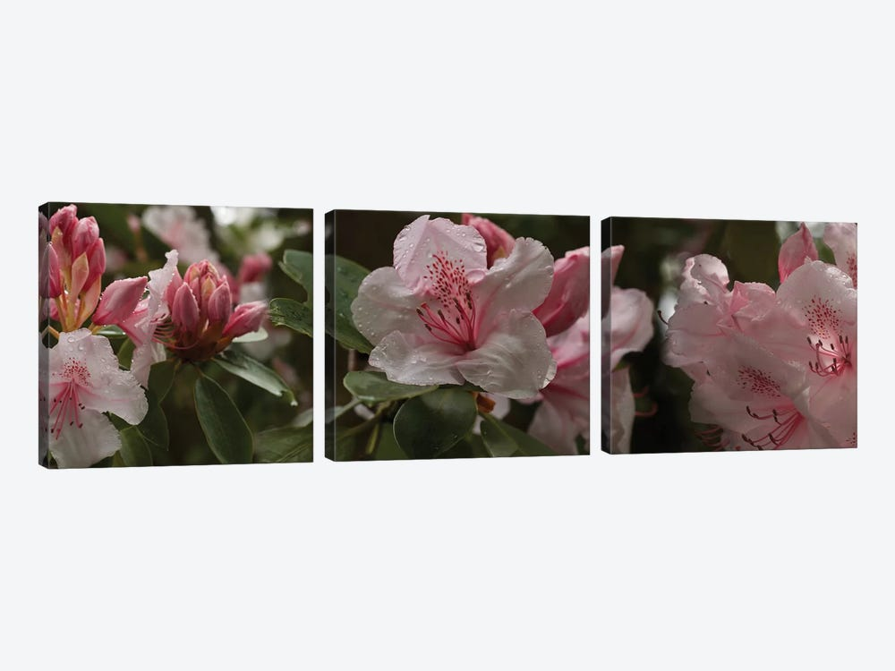 Close-Up Of Rhododendron Flowers I by Panoramic Images 3-piece Art Print
