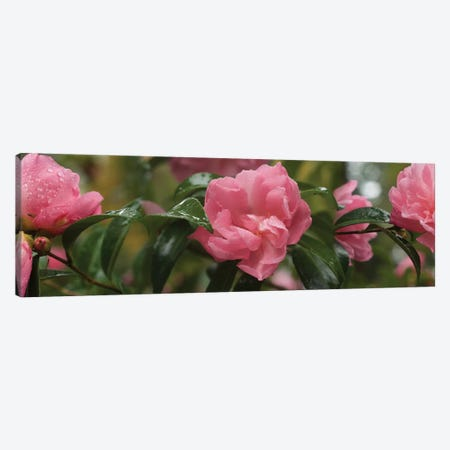 Close-Up Of Rhododendron Flowers II Canvas Print #PIM14526} by Panoramic Images Canvas Art Print