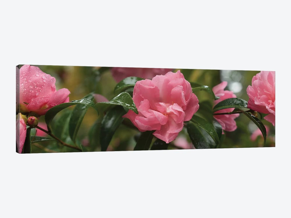Close-Up Of Rhododendron Flowers II by Panoramic Images 1-piece Canvas Artwork