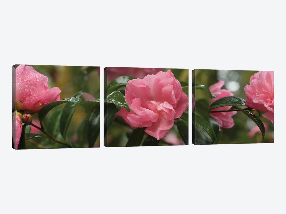 Close-Up Of Rhododendron Flowers II by Panoramic Images 3-piece Canvas Artwork