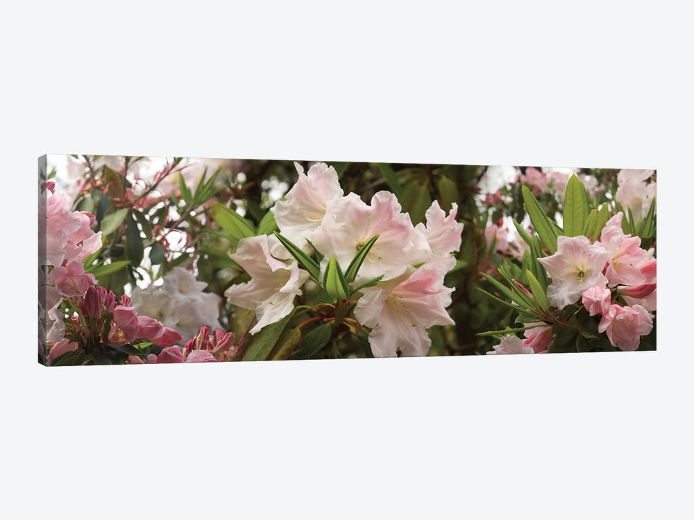 Close-Up Of Rhododendron Flowers In Bloom I by Panoramic Images 1-piece Canvas Art Print