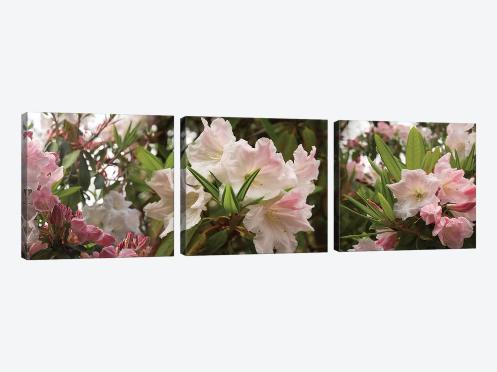 Close-Up Of Rhododendron Flowers In Bloom I by Panoramic Images 3-piece Canvas Art Print
