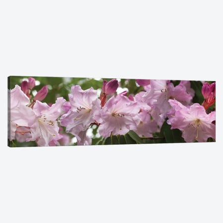 Close-Up Of Rhododendron Flowers In Bloom II Canvas Print #PIM14528} by Panoramic Images Canvas Art