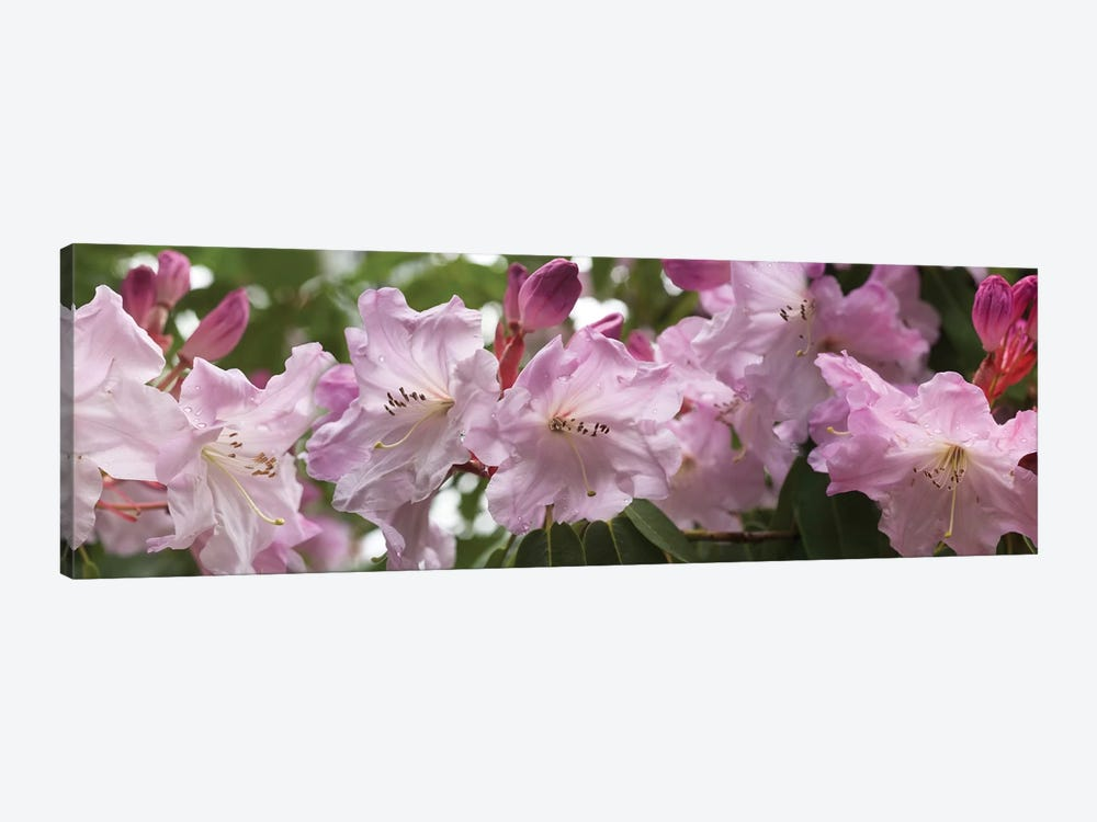 Close-Up Of Rhododendron Flowers In Bloom II by Panoramic Images 1-piece Canvas Artwork