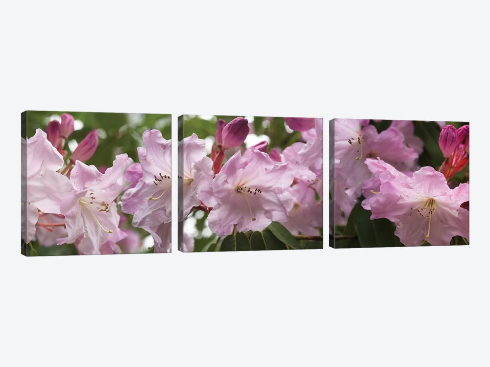 Close-Up Of Rhododendron Flowers In Bloom II by Panoramic Images 3-piece Canvas Art