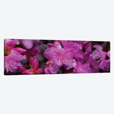 Close-Up Of Rhododendron Flowers In Bloom III Canvas Print #PIM14529} by Panoramic Images Canvas Art