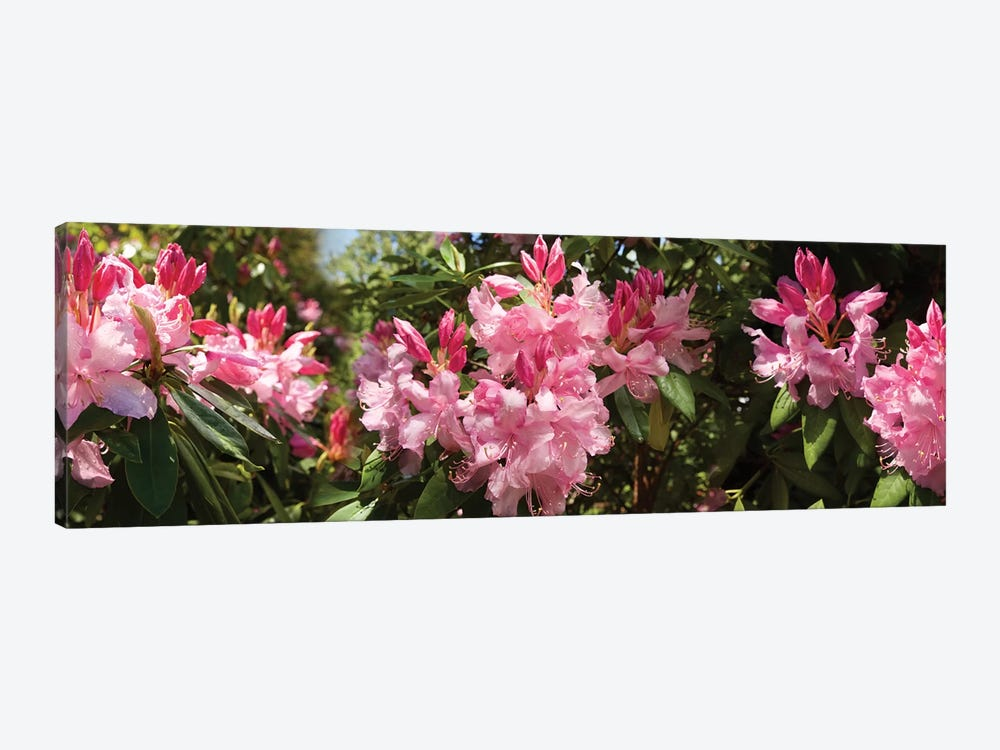Close-Up Of Rhododendron Flowers In Bloom IV by Panoramic Images 1-piece Canvas Print
