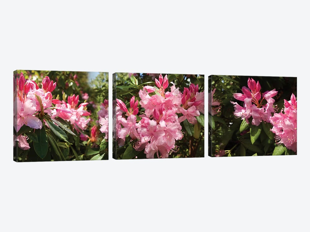 Close-Up Of Rhododendron Flowers In Bloom IV by Panoramic Images 3-piece Canvas Art Print
