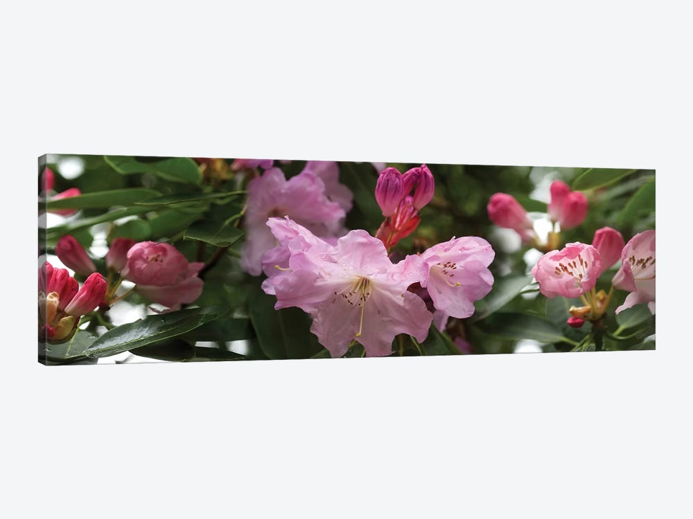 Close-Up Of Rhododendron Flowers In Bloom V by Panoramic Images 1-piece Canvas Art