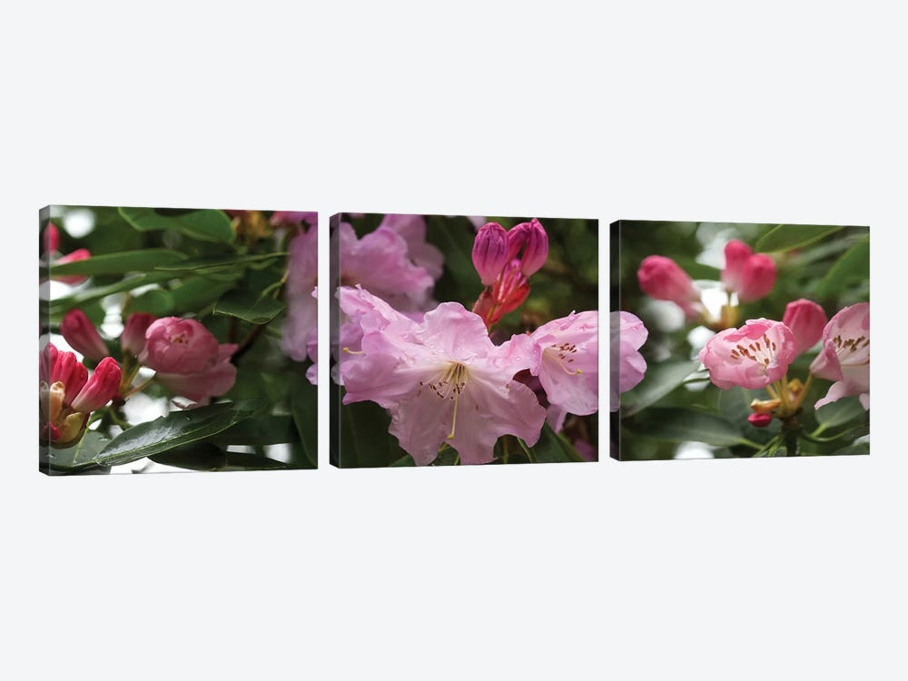 Close-Up Of Rhododendron Flowers In Bloom V by Panoramic Images 3-piece Canvas Wall Art