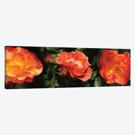 Close-Up Of Rose Flowers Canvas Print #PIM14532} by Panoramic Images Art Print
