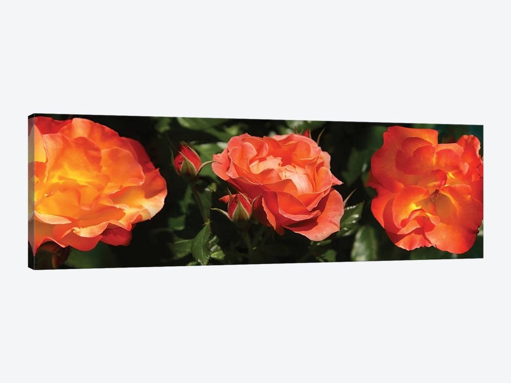 Close-Up Of Rose Flowers by Panoramic Images 1-piece Art Print
