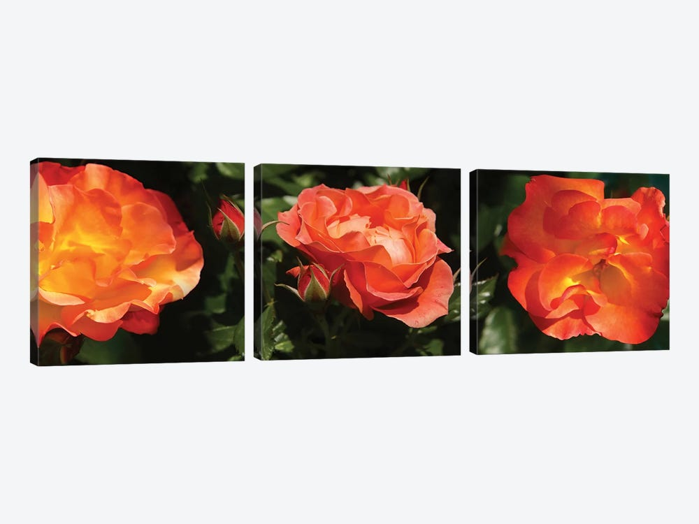 Close-Up Of Rose Flowers by Panoramic Images 3-piece Canvas Print