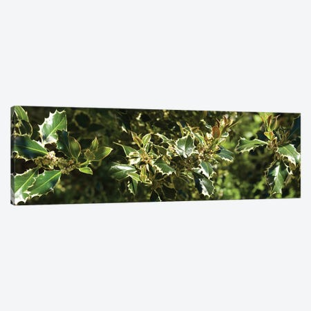 Close-Up Of Sharp Edge Of Holy Leaves Canvas Print #PIM14535} by Panoramic Images Canvas Artwork