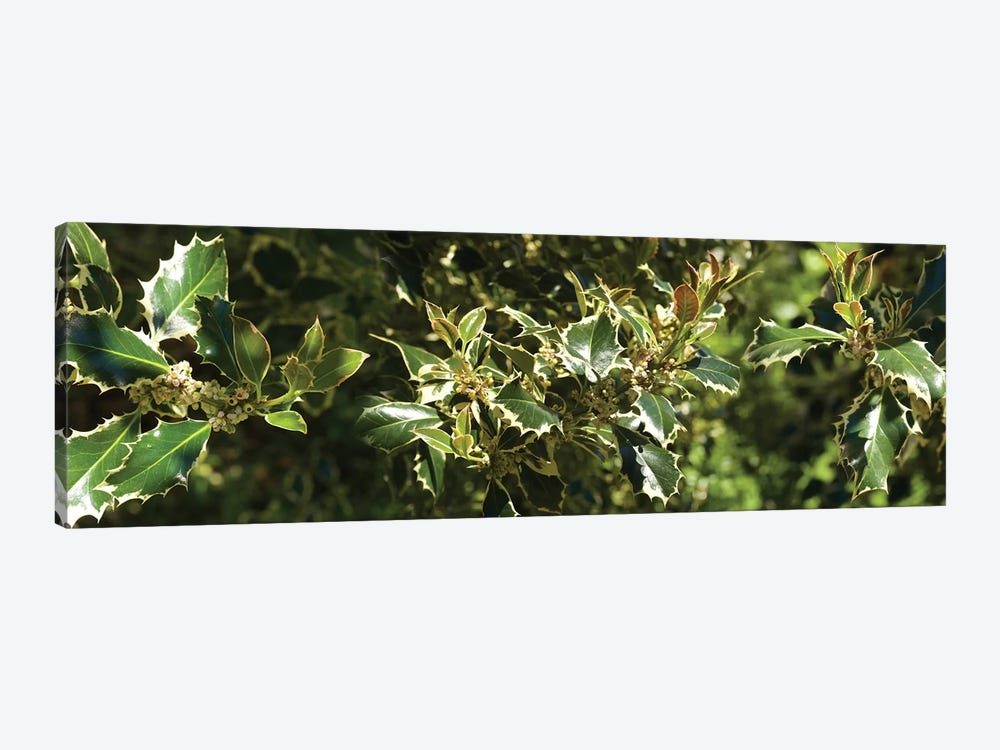 Close-Up Of Sharp Edge Of Holy Leaves by Panoramic Images 1-piece Canvas Wall Art