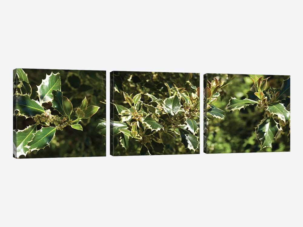 Close-Up Of Sharp Edge Of Holy Leaves by Panoramic Images 3-piece Canvas Artwork