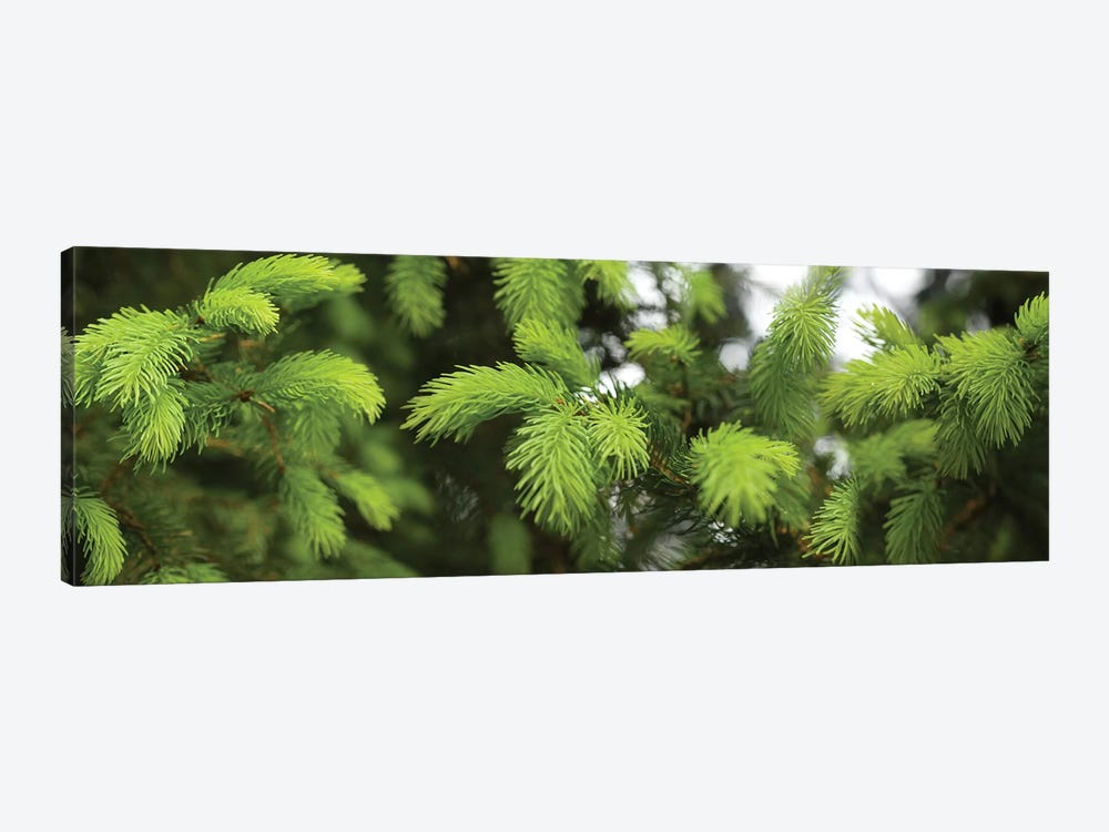 Close-Up Of Spring Conifers Plants by Panoramic Images 1-piece Canvas Print