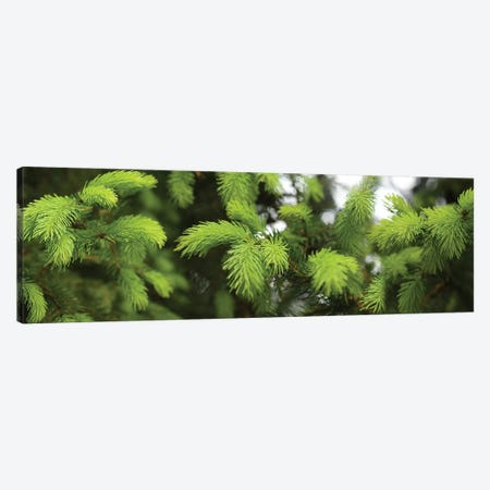 Close-Up Of Spring Conifers Plants Canvas Print #PIM14536} by Panoramic Images Canvas Wall Art
