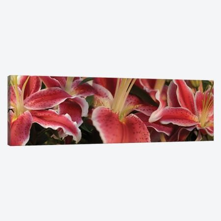 Close-Up Of Stargazer Lily Flowers Canvas Print #PIM14538} by Panoramic Images Canvas Art Print