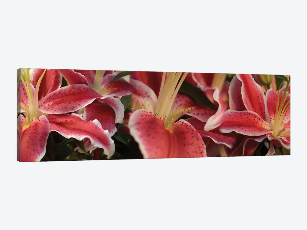 Close-Up Of Stargazer Lily Flowers by Panoramic Images 1-piece Art Print